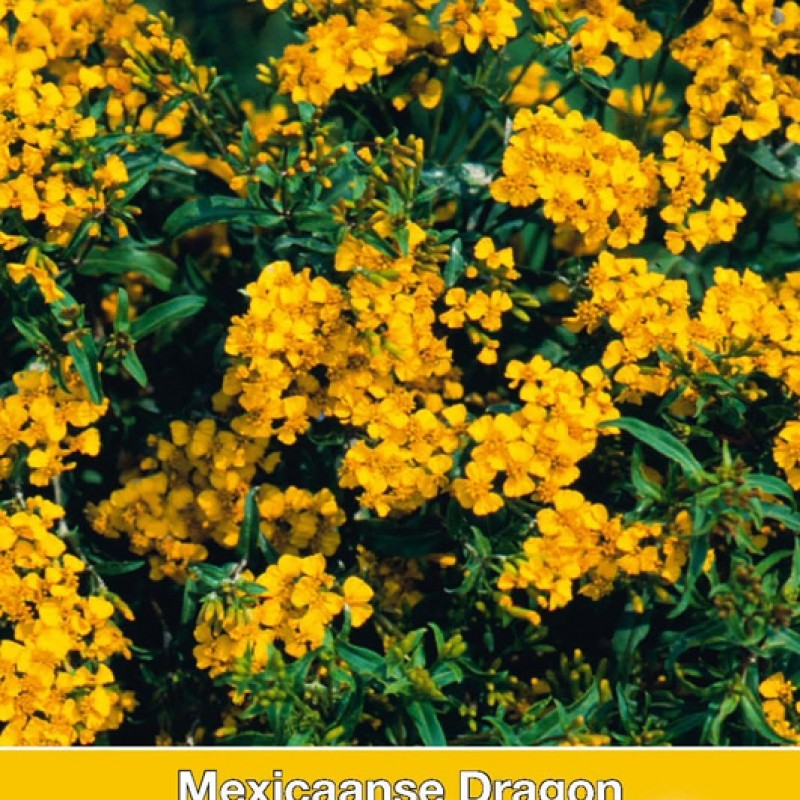 Mexicaanse Dragon, Tagetes lucida