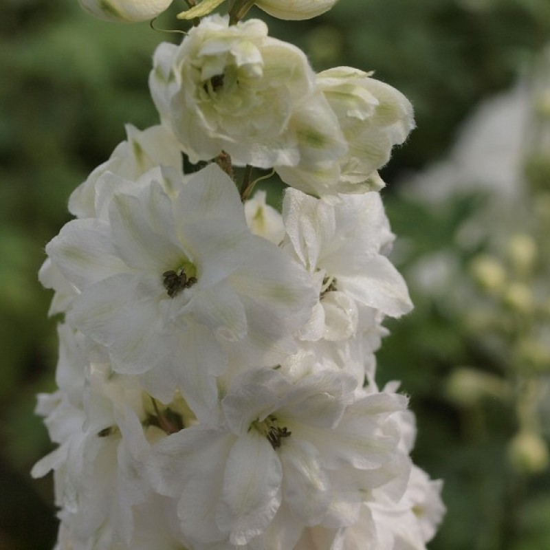 Delphinium (E) 'Green Twist'