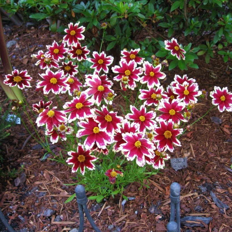 Coreopsis 'Ruby Frost®'