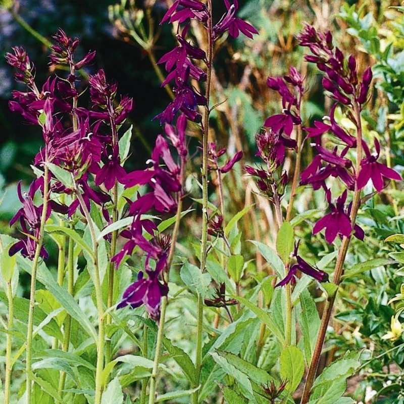 Lobelia 'Hadspen Purple®'