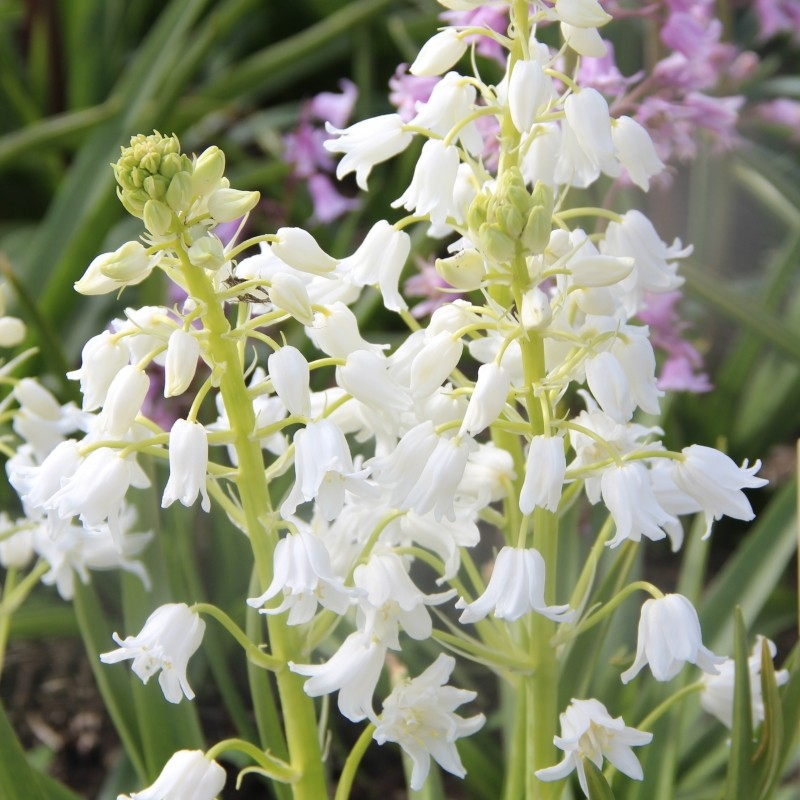 Hyacinthoides hispanica 'White City'