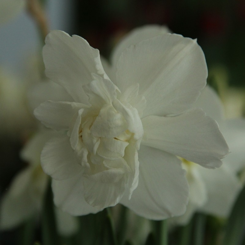 Narcissus 'Snowball'