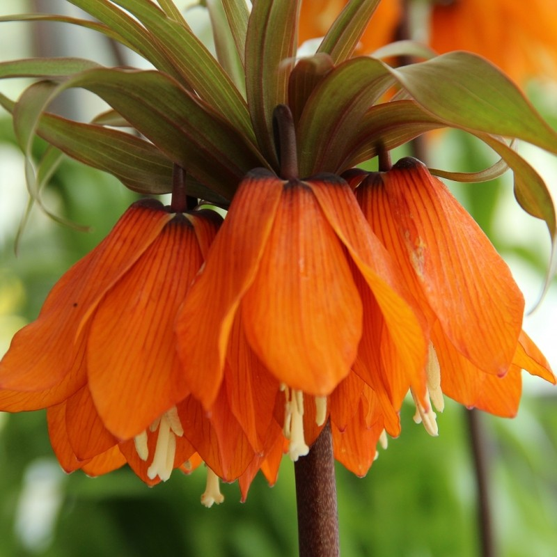 Fritillaria imperialis 'Sunset'