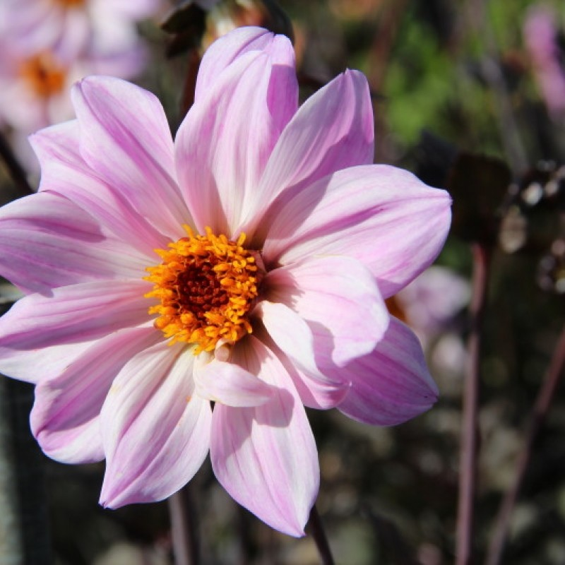 Dahlia 'Bishop of Leicester'