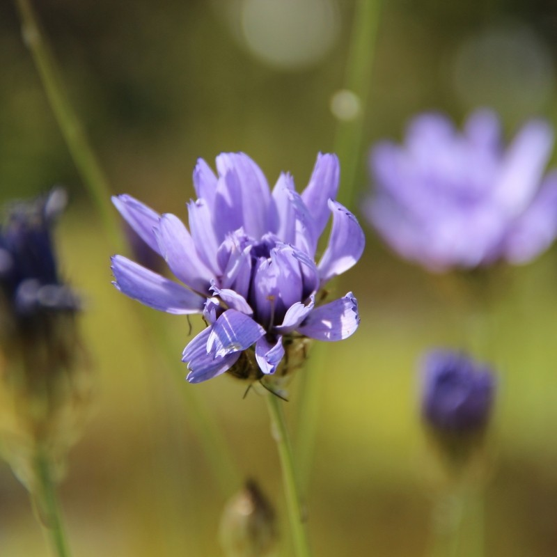 Catananche caerulea 'Major'