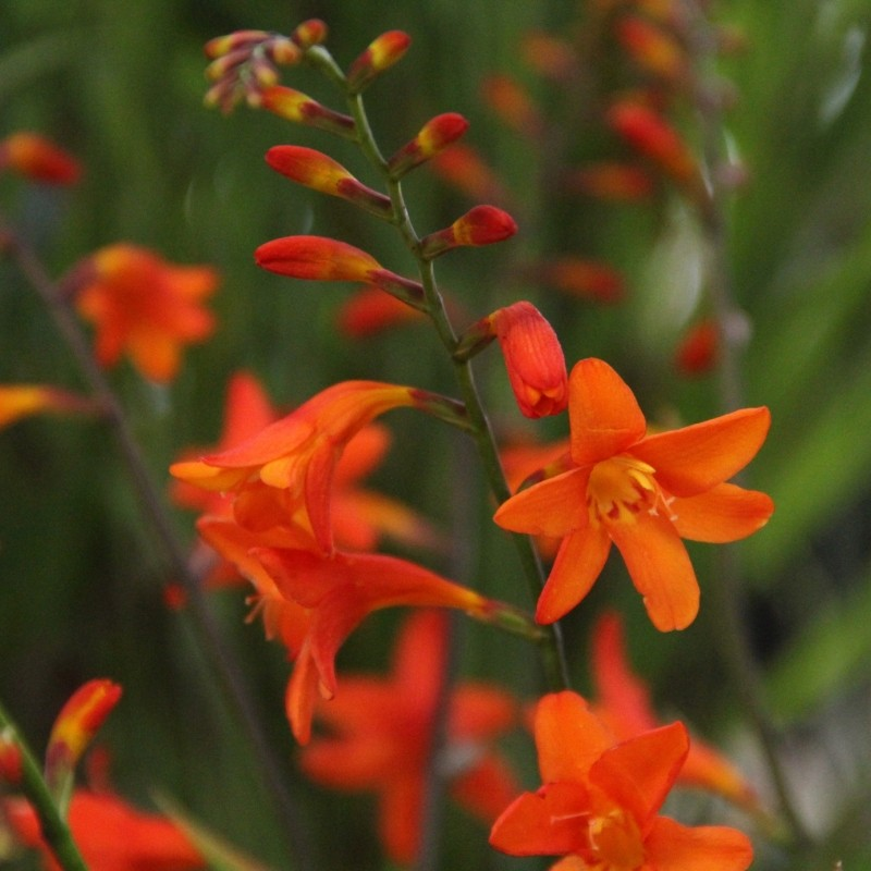 Crocosmia 'Lady Ann'