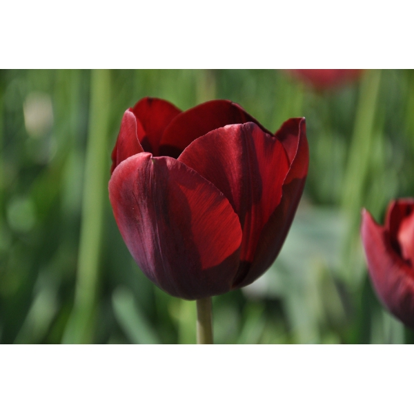 Tulipa 'Maroccan Beauty'