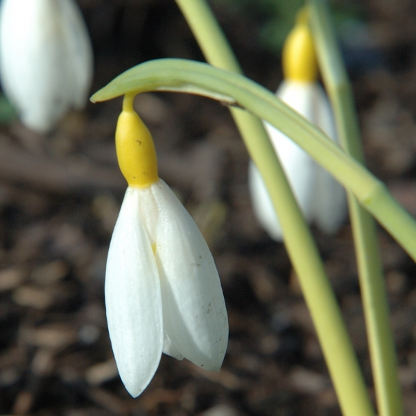 Galanthus 'Bill Clark' (Gold Group)