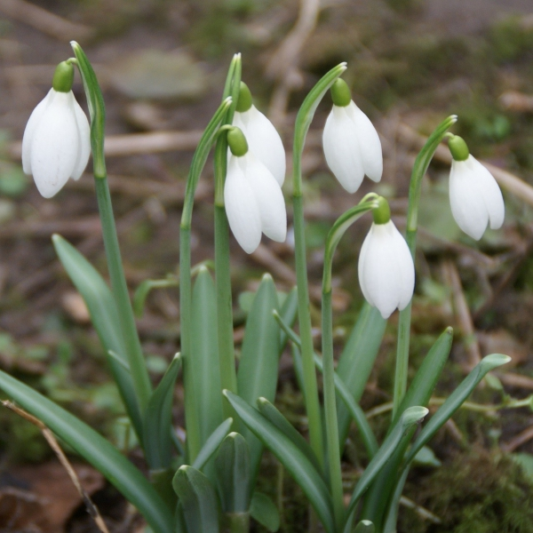 Galanthus 'White Dream'