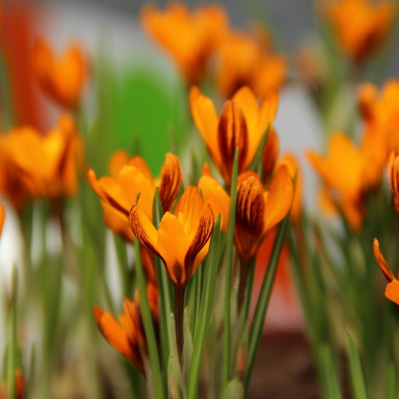 Crocus olivieri subsp. balansae 'Orange Monarch'