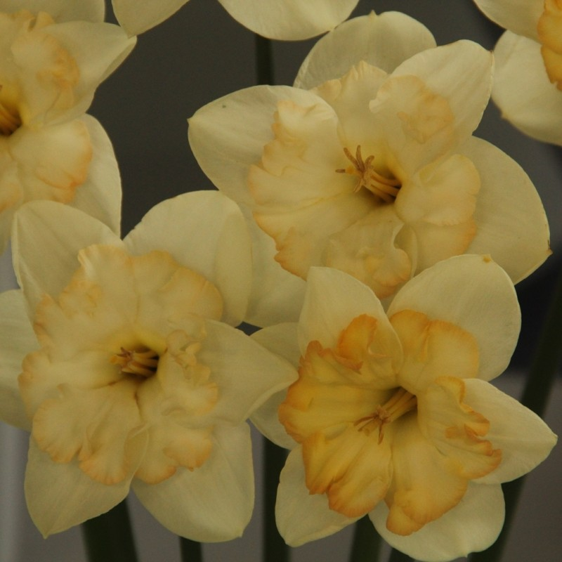 Narcissus 'Changing Colours'