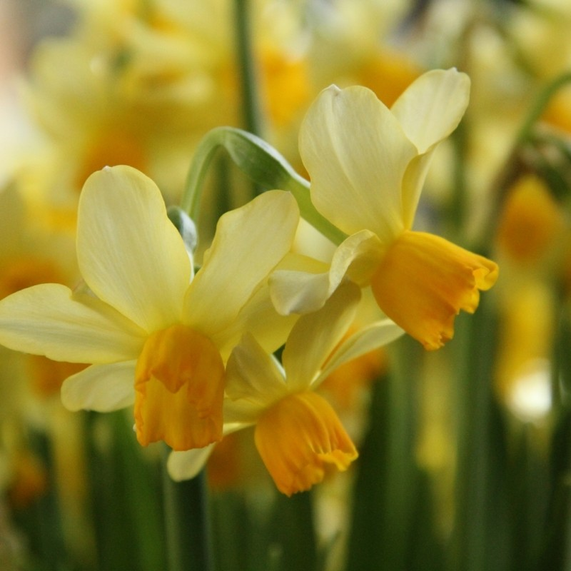 Narcissus 'Eaton Song'
