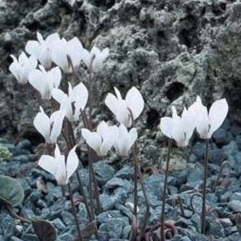 Cyclamen intaminatum
