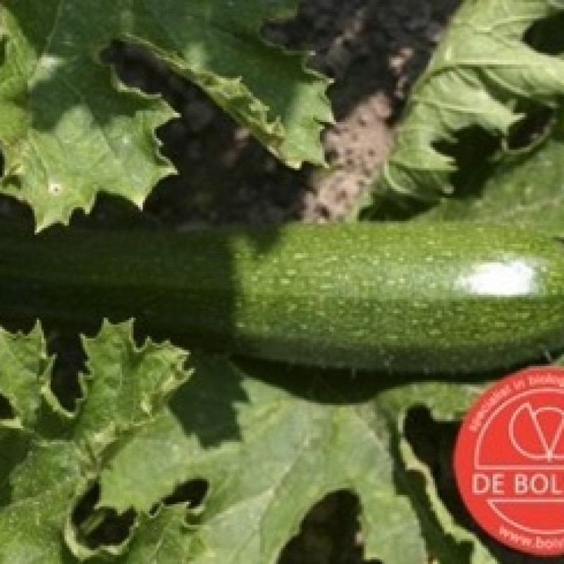 Courgette, Cucurbita pepo 'Black Beauty'
