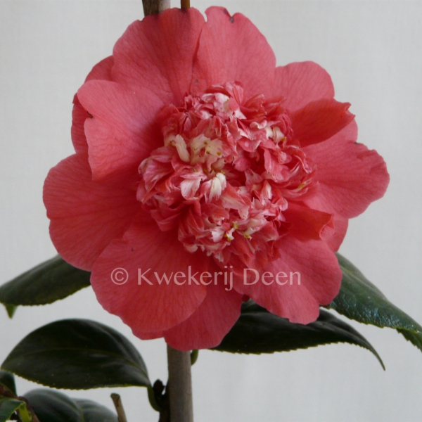 Camellia 'Fire 'N Ice'