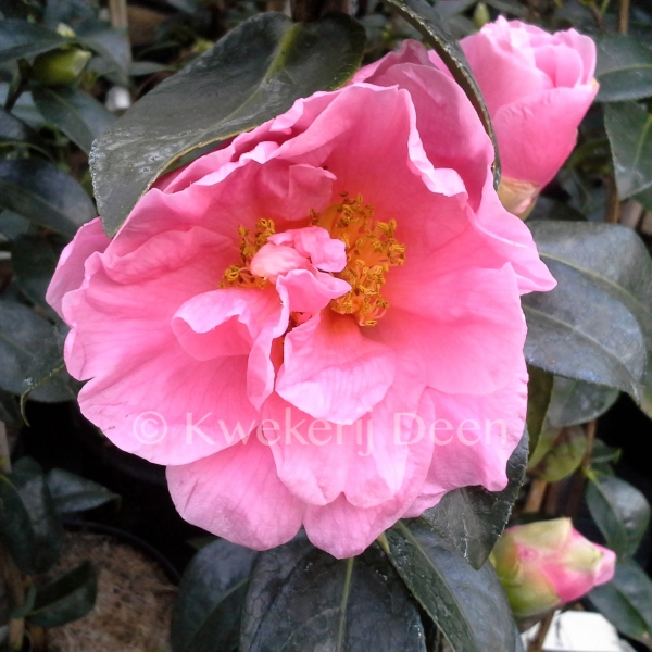Camellia 'Ice Follies'