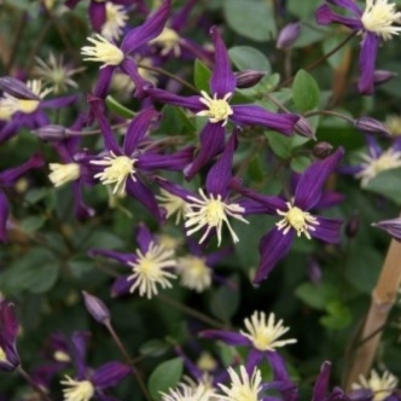 Clematis 'Aromatica'