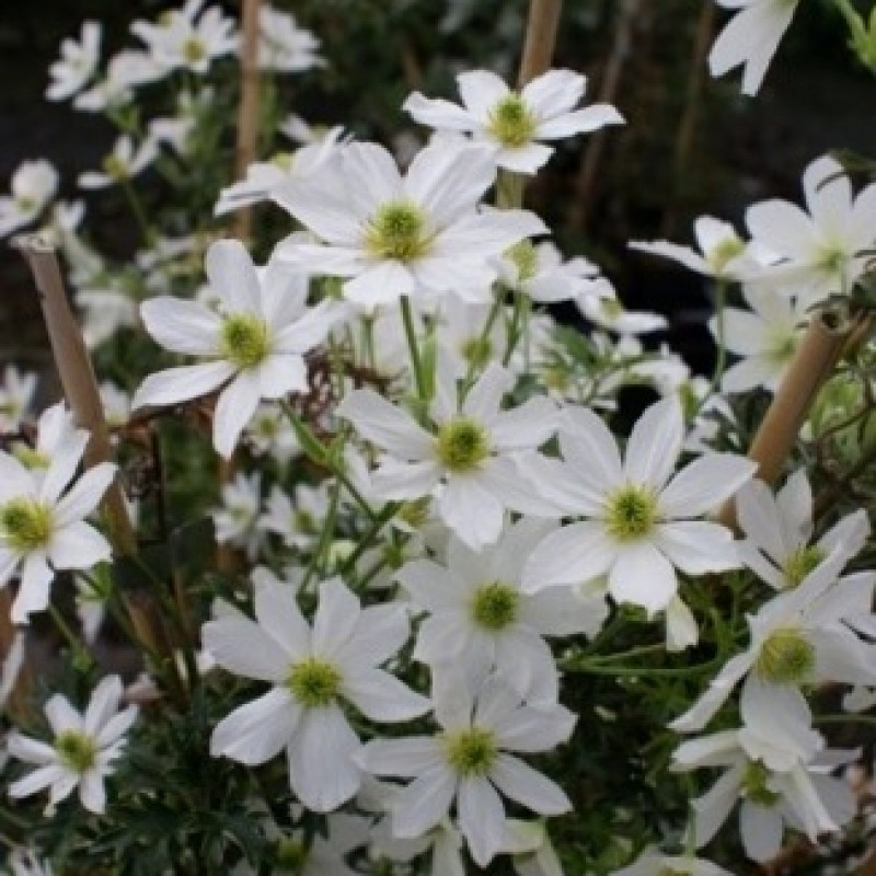 Clematis 'Early Senstion'