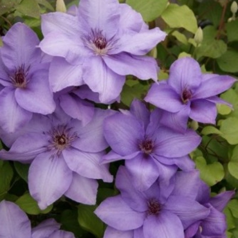Clematis 'Esther'