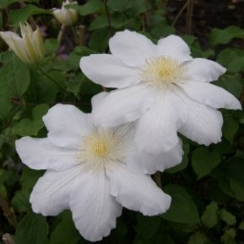 Clematis 'Mevrouw Le Coultre'