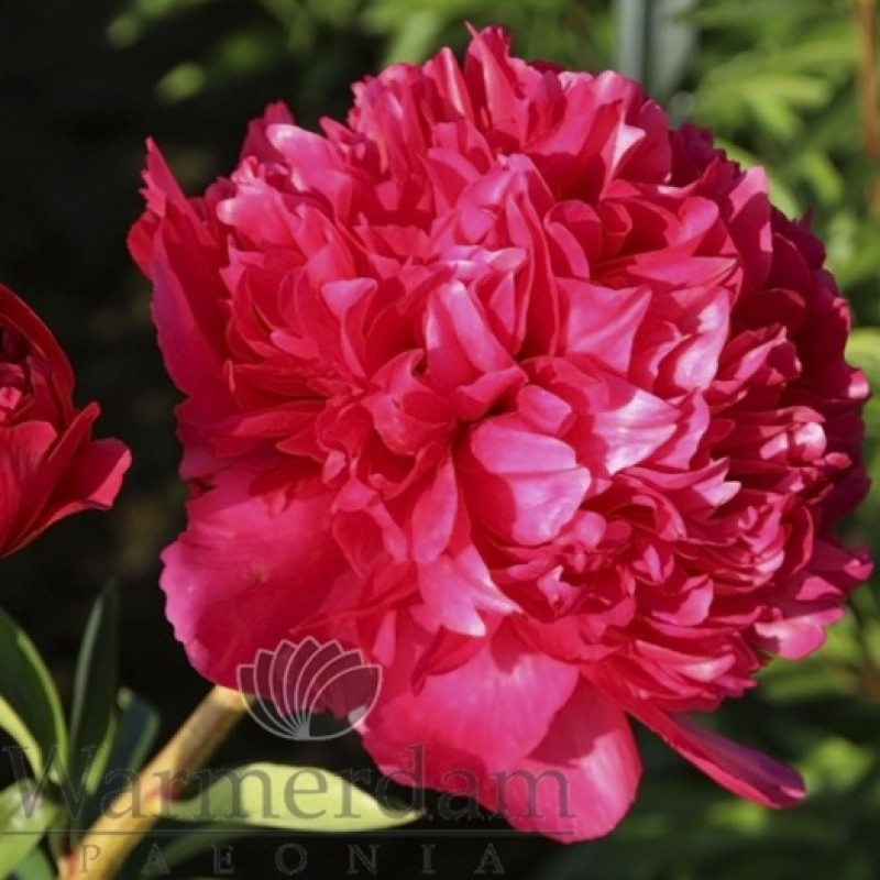 Paeonia 'Command Performance'