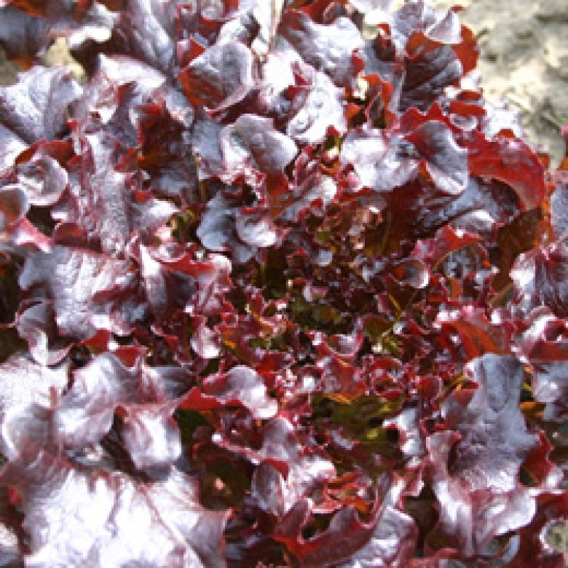 Eikenbladsla, Red salad bowl Lactuca sativa