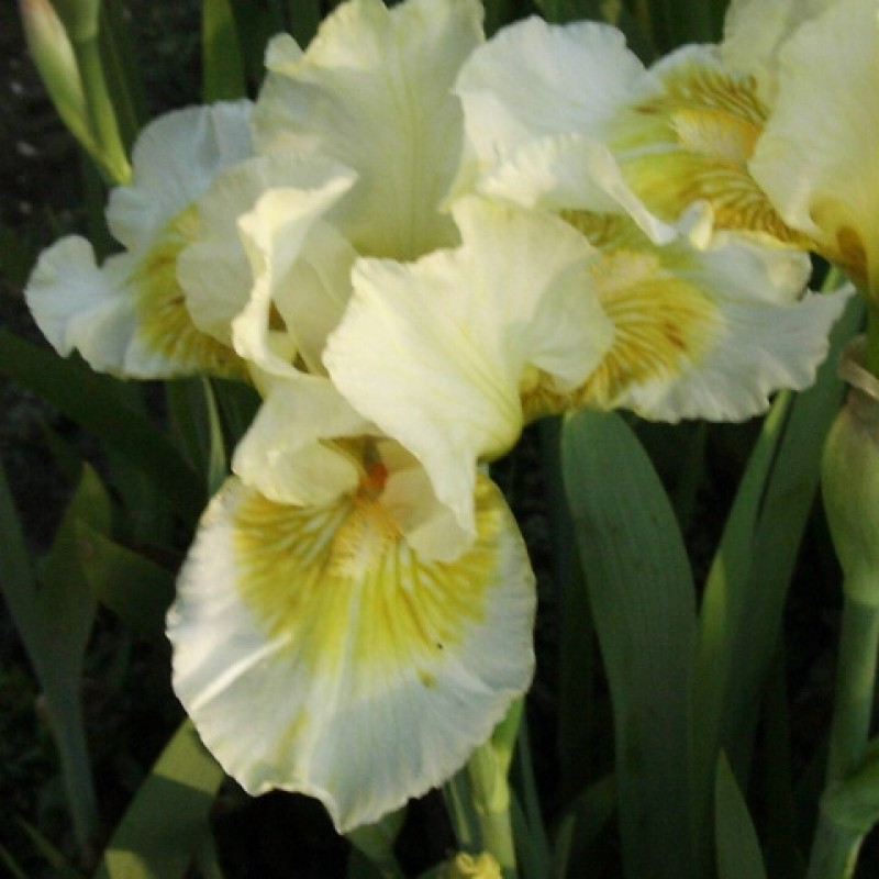 Iris 'Sunshine Boy'
