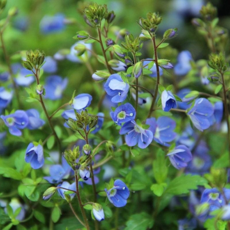 Veronica peduncularis 'Georgia Blue'