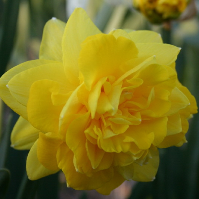 Narcissus 'Eastertide'