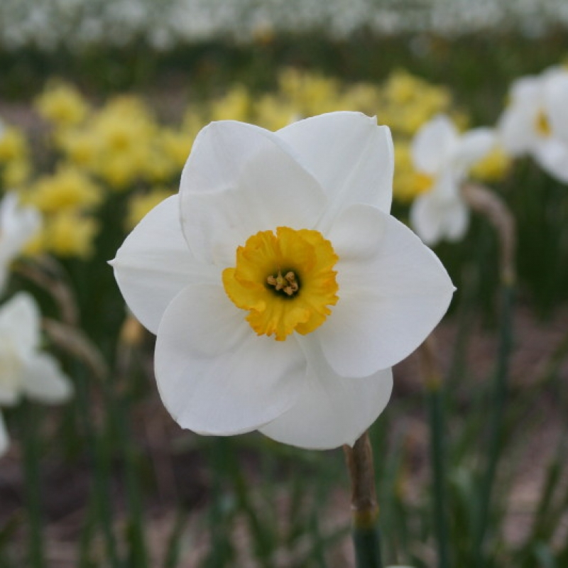 Narcissus 'Carnearny'