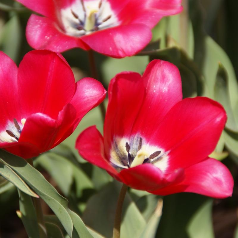 Tulipa 'Proserpine'