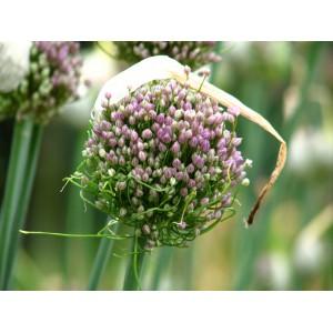 Allium ampeloprasum 'Hairy Friend'