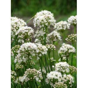 Allium albidum