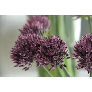 Allium caesium -wijnrode selectie-