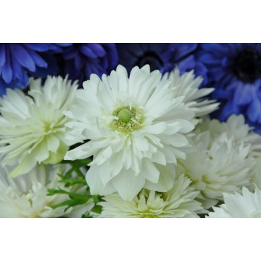 Anemone coronaria 'Mount Everest'