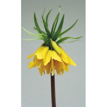 Fritillaria imperialis 'Early Magic'