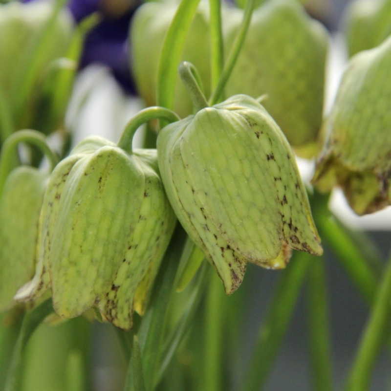 Fritillaria whittallii 'Greenlight'