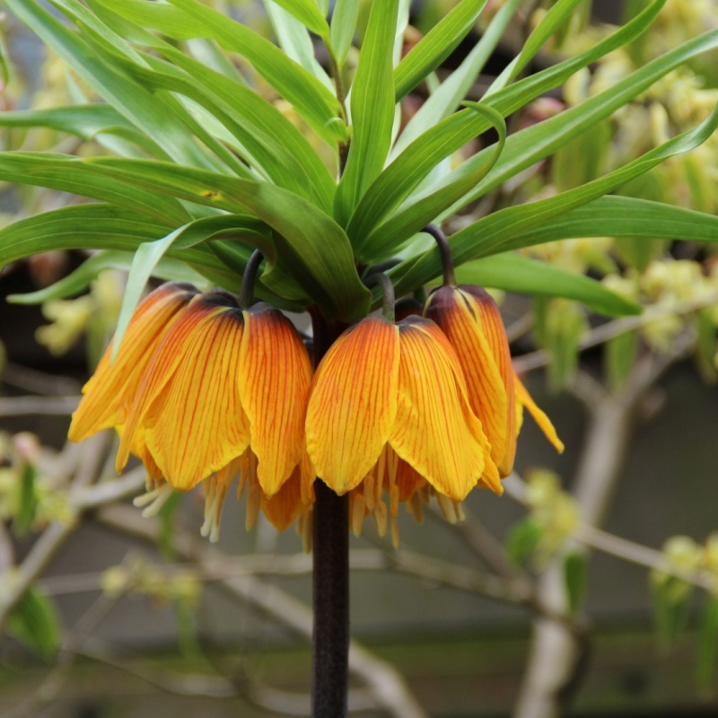 Fritillaria imperialis 'Striped Beauty'