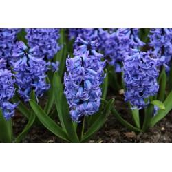 Hyacinthus orientalis 'Blue Tango'