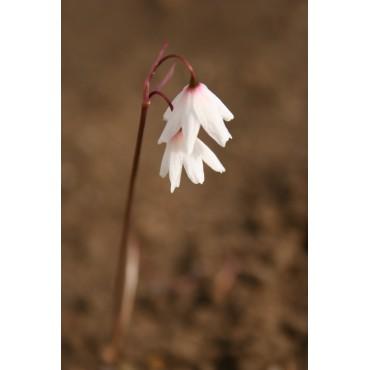 Acis autumnalis subsp. oporanthus