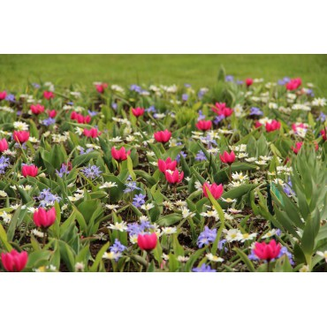 Tulipa humilis 'Violacea Black Base'