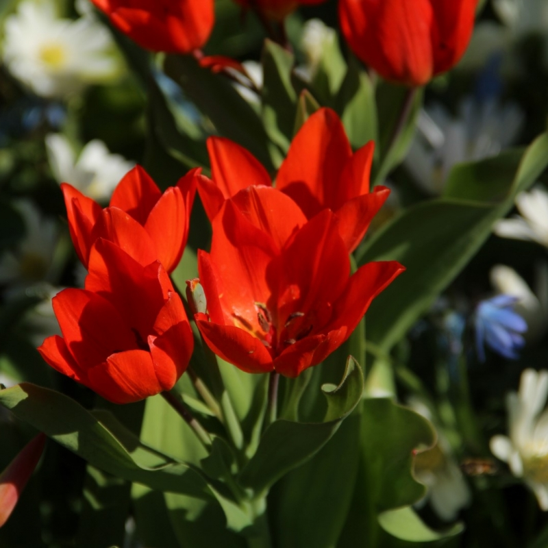 Tulipa praestans 'Füsilier'