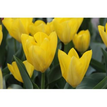 Tulipa 'Yellow Purissima'