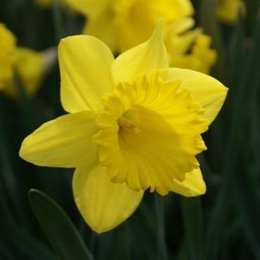 Narcissus 'Dutch Master'