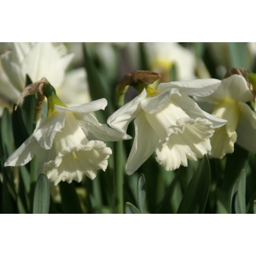 Narcissus 'Mount Hood'