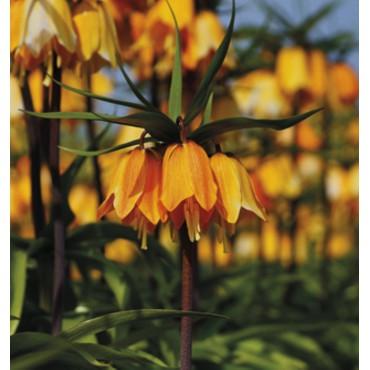 Fritillaria imperialis 'Early Dream'