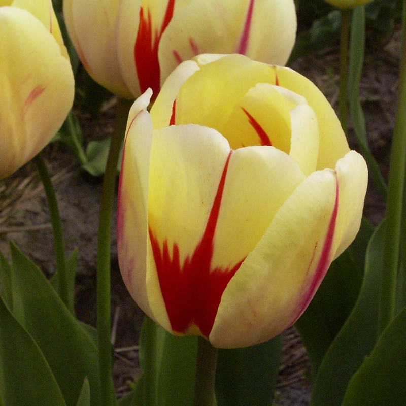 Tulipa 'Burning Heart'