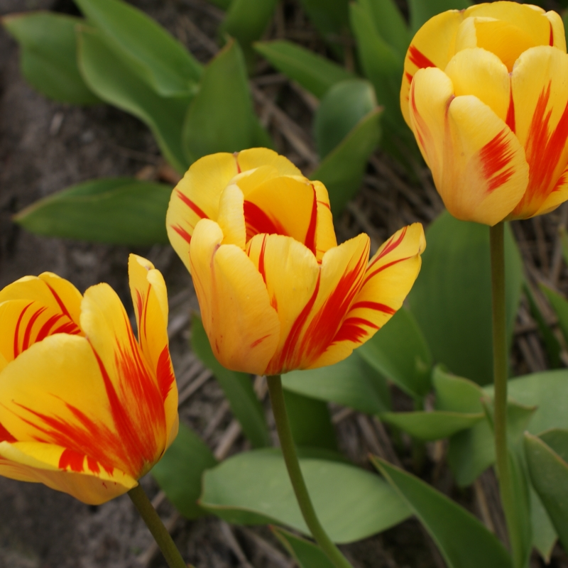 Tulipa 'Hans Mayer'