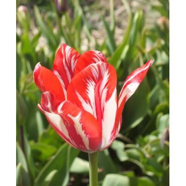 Tulipa 'Fleur de Mai'