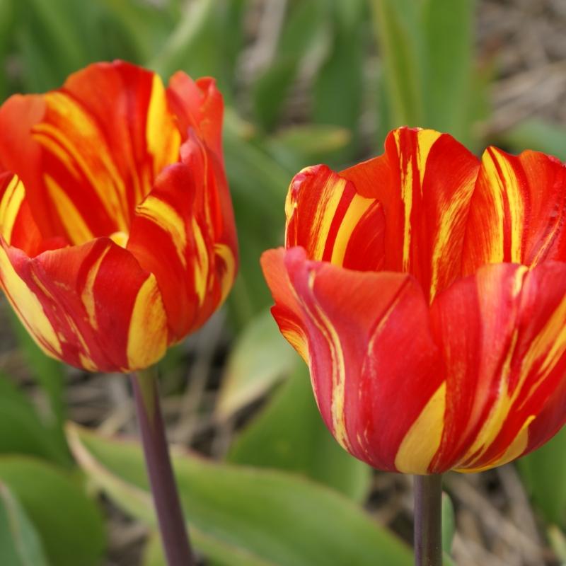 Tulipa 'Soleil Orange'